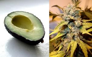 avocado weed
